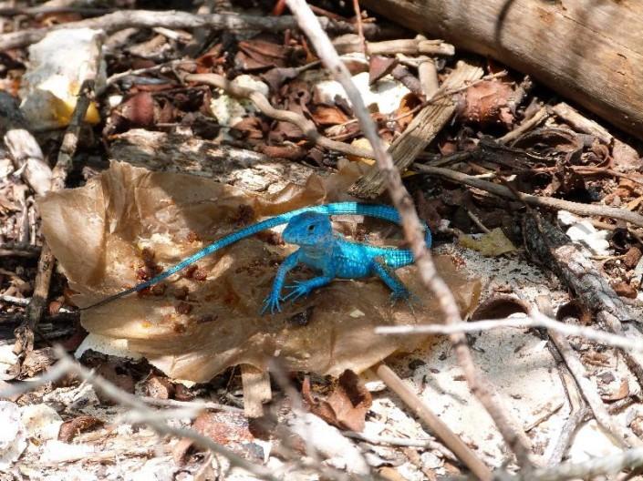 Venezuelan blue lizard