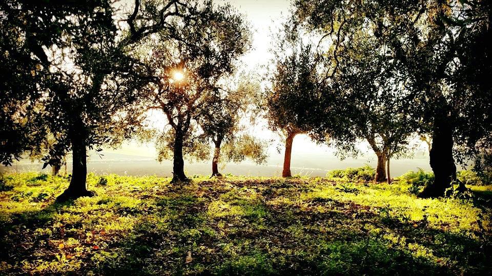 olive trees for olive oil